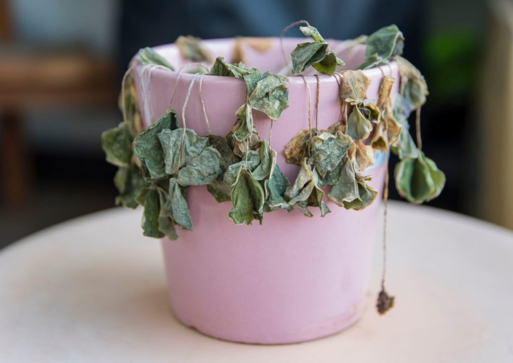 plante deshydratée